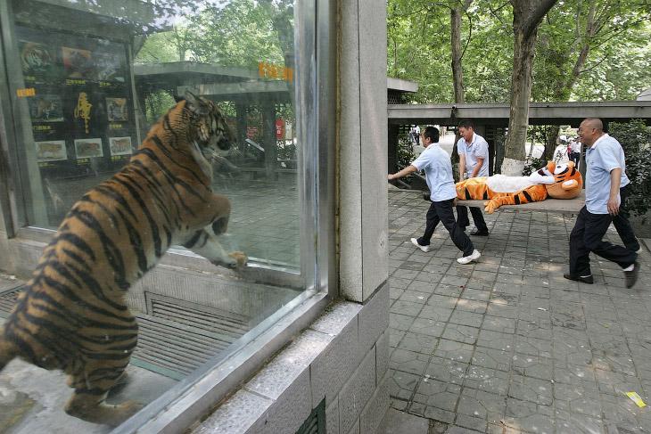 Вот в зоопарке в городе Чэнду, Китай «сбежал тигр». Поймали, несут обратно