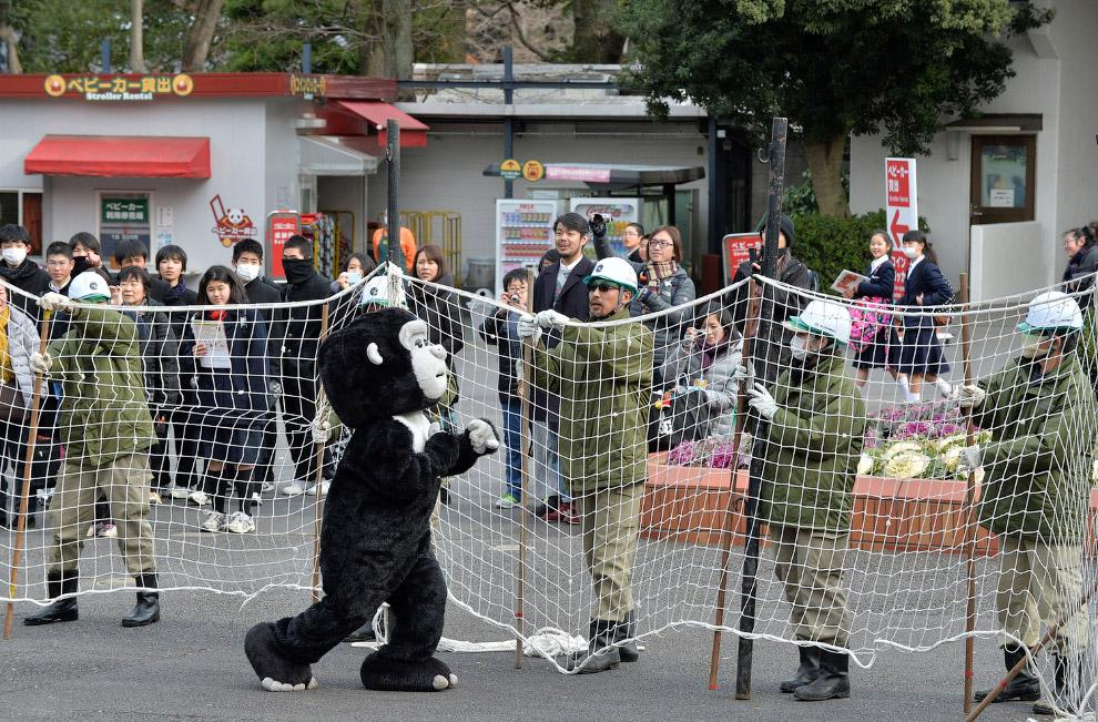 А вот в зоопарке в Токио сбежала «горилла»
