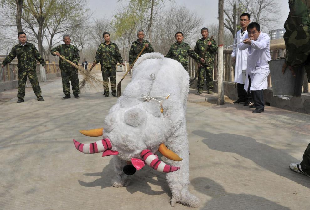 В зоопарке в Тайюане, провинция Шаньси, Китай 17 апреля 2013 сбежало из вольера еще одно неопознанное животное