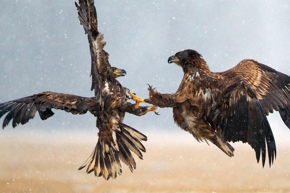 Воздушный бой орланов-белохвостов