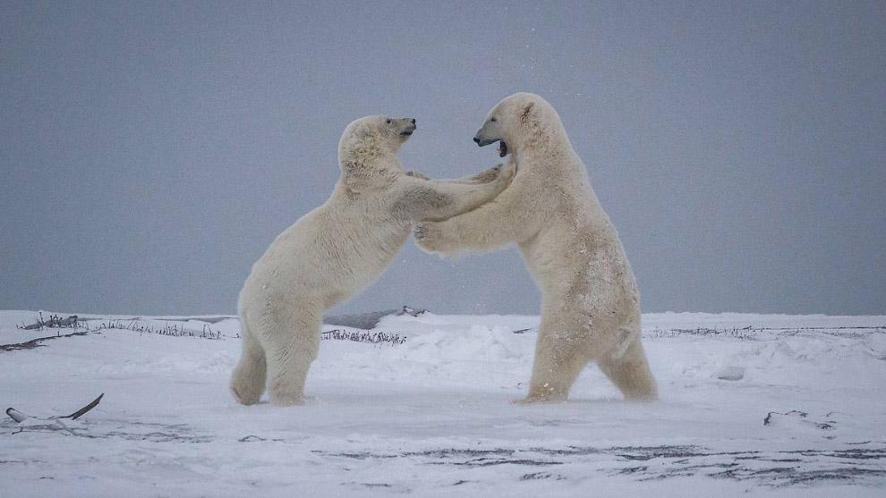 Пара белых медведей на Аляске