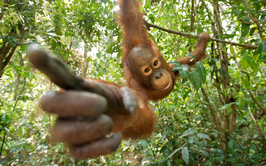 Орангутанг в тропических лесах на острове Борнео