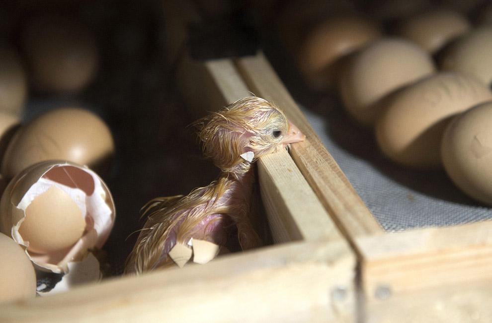 Новорожденный цыпленок в самодельном инкубаторе, Словакия