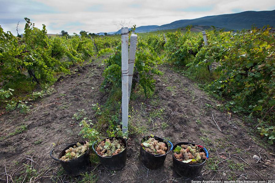 Август. Уборка винограда