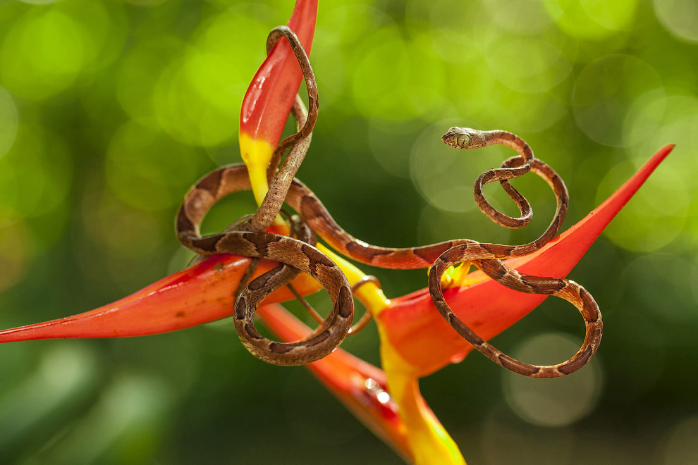 Змея из Коста-Рики