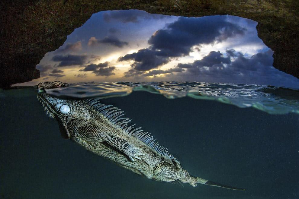 Зеленая игуана плавает в пещере на карибском острове Бонайре