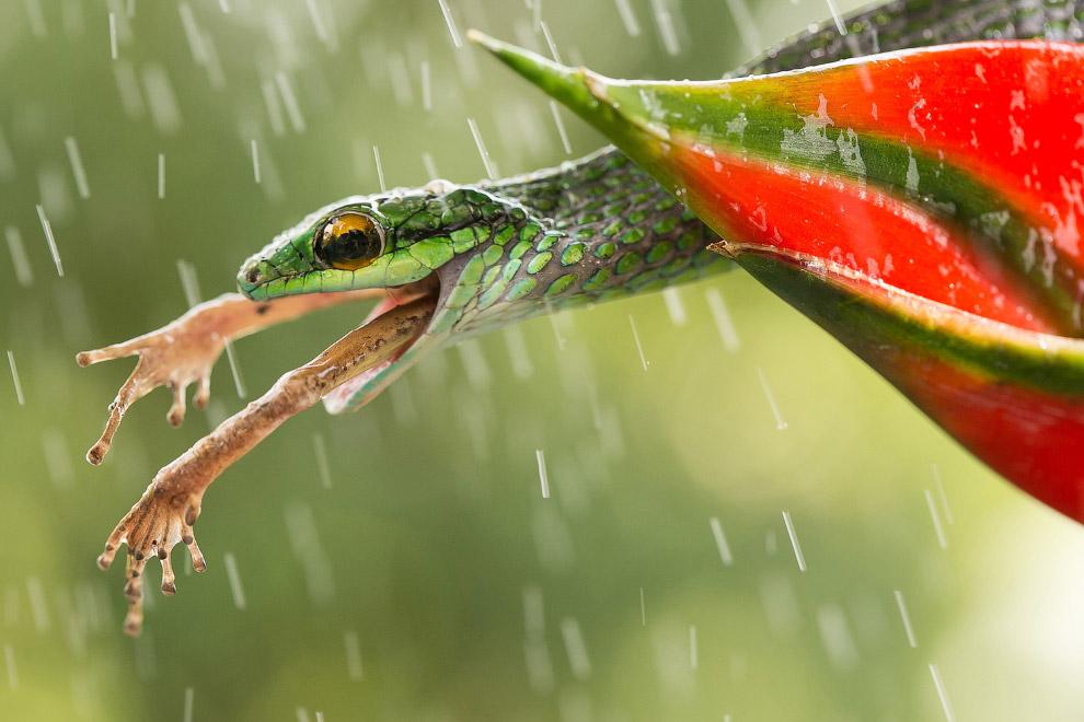 Змея поймала лягушку на Коста-Рике.