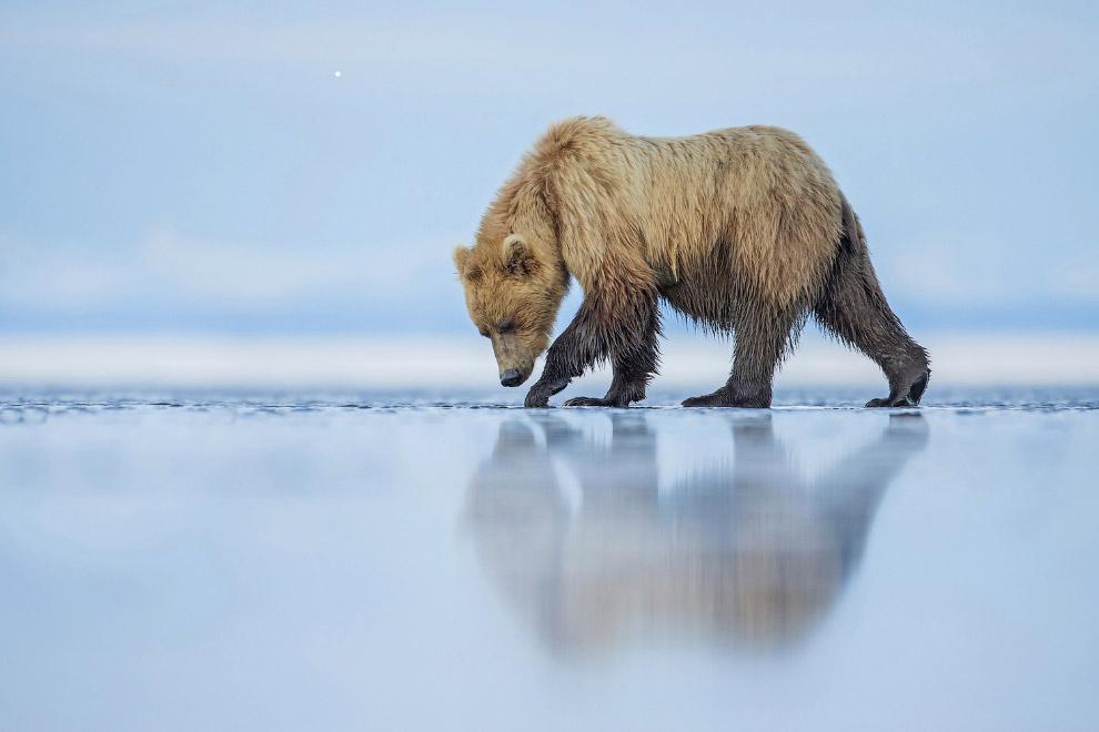 Медведь гризли в национальном парке Озеро Кларк, штат Аляска