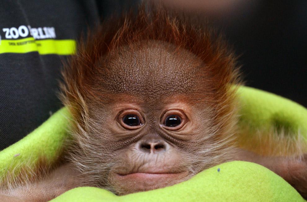 Новорожденный орангутан Рике на пресс-конференции в Берлинском зоопарке, Германия