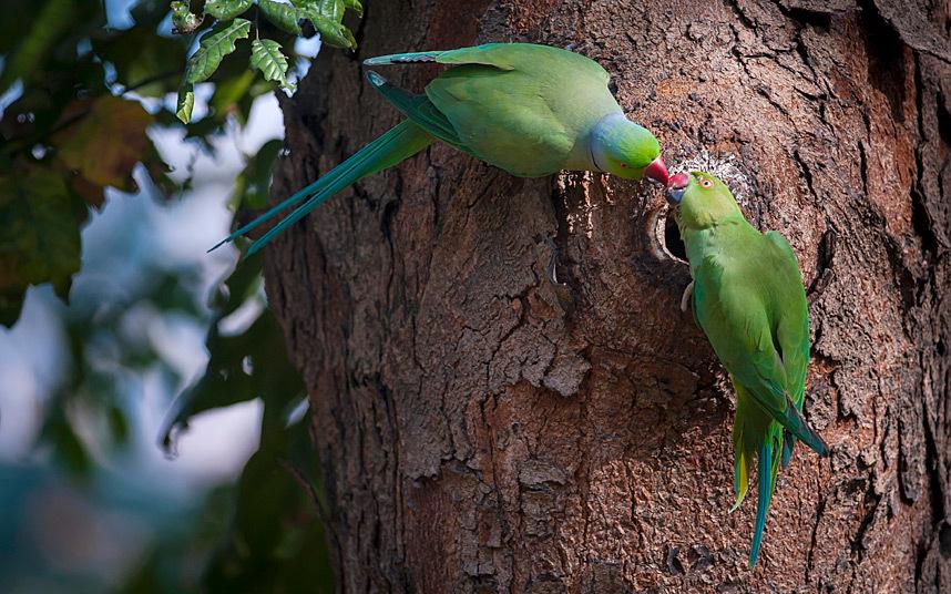 Индийские кольчатые попугайчики в парке в Калькутте, Индия