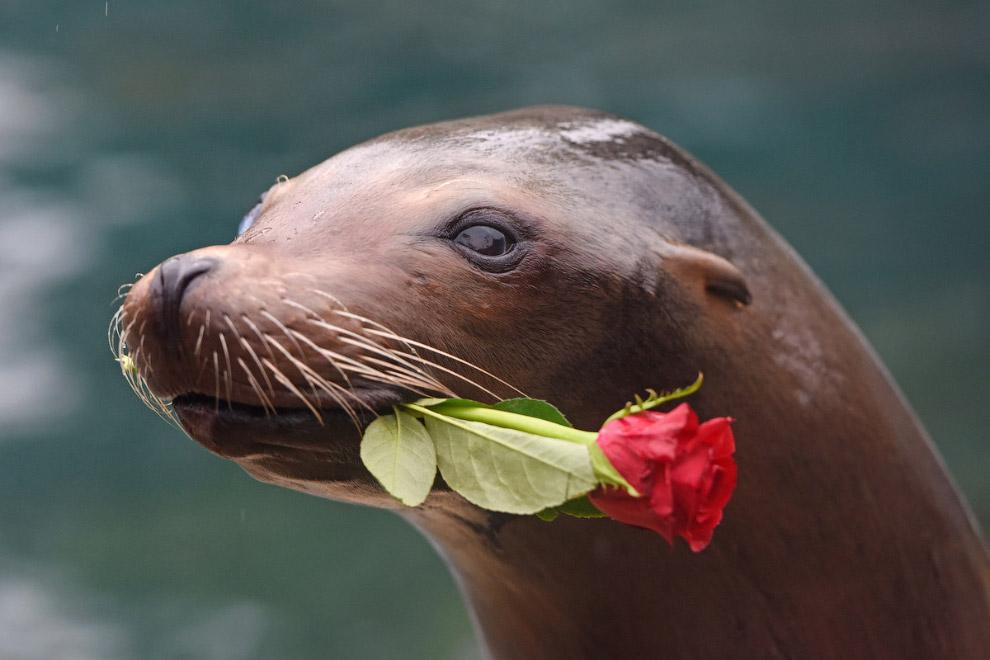 Романтичный морской лев