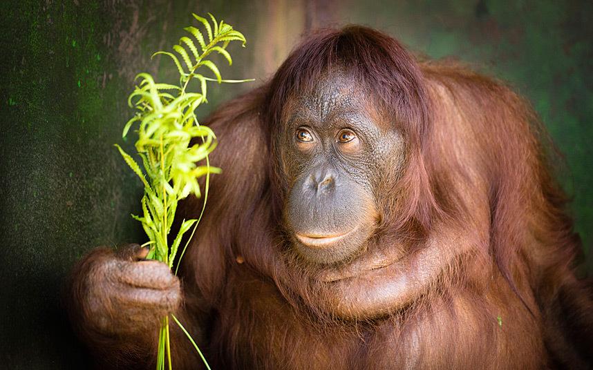 Застенчивый орангутан