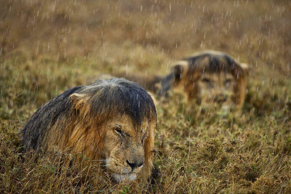 Мокрый лев