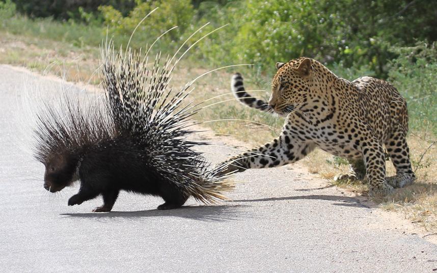 Дикобраз пытается убежать от леопарда