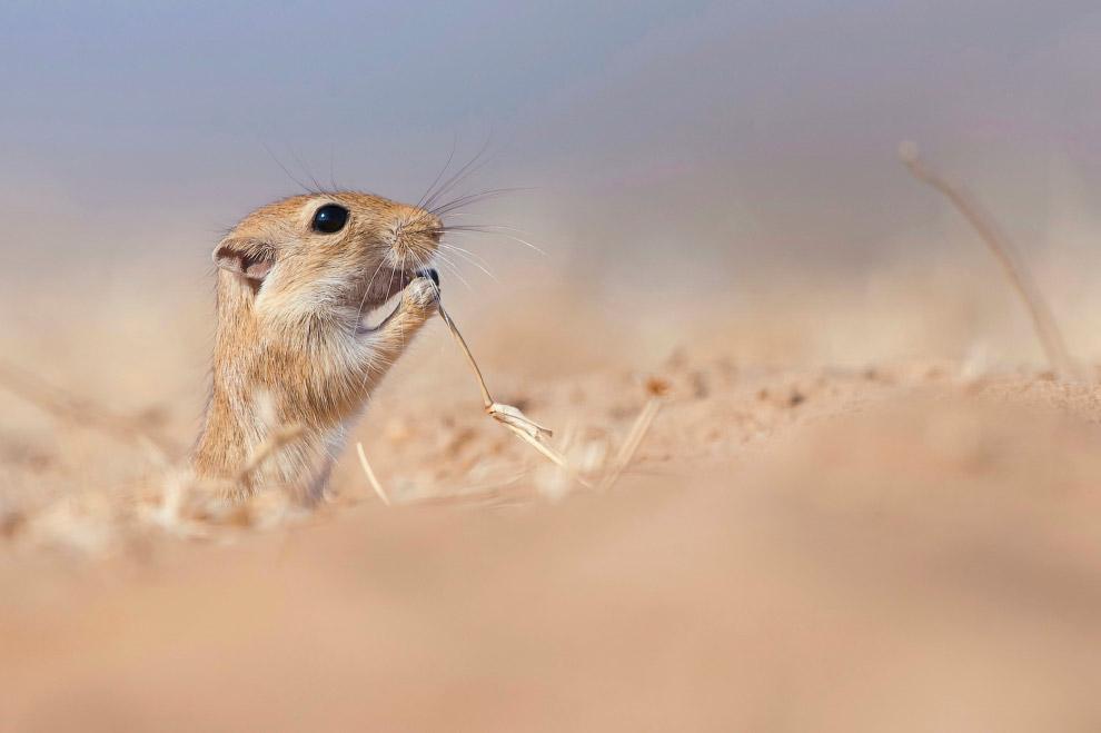 Песчанка жует сухую траву в Биканере, Индия