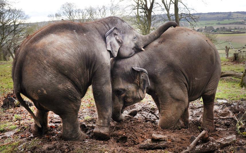 Маленькие слоны играют в грязи в зоопарке в графстве Бедфордшир