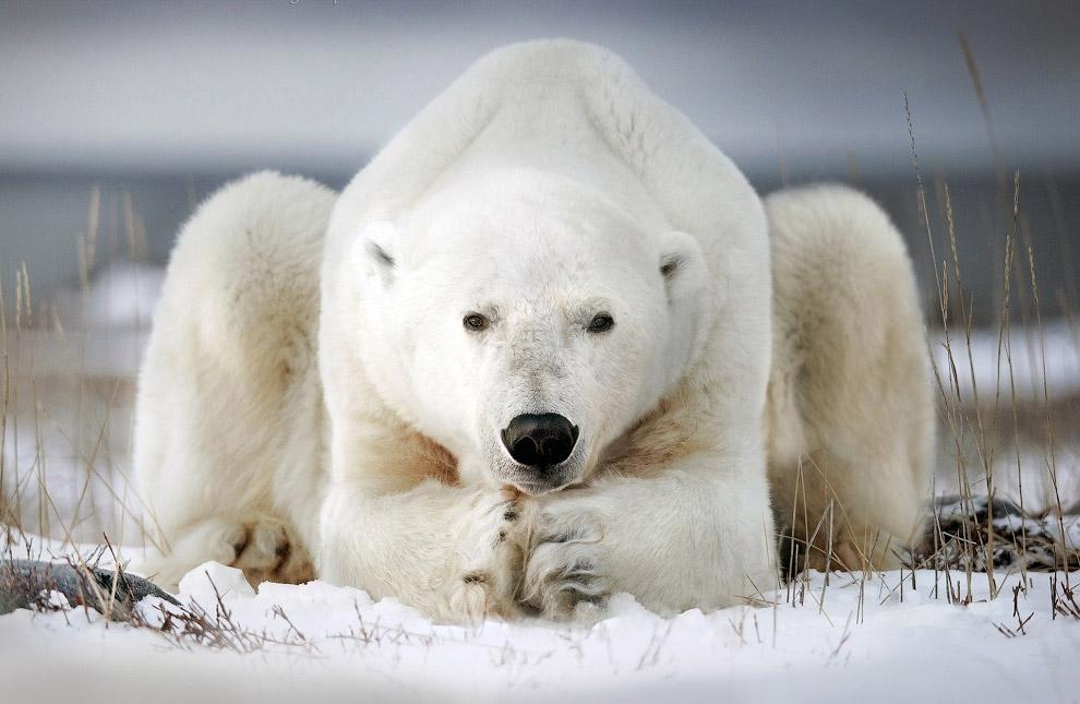 Белый медведь в Национальном парке Вапуск, КанадаБелый медведь в Национальном парке Вапуск, Канада