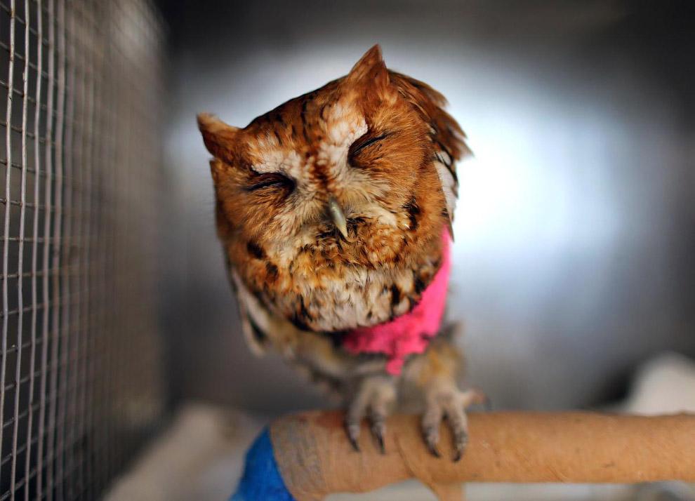 Ушастая сова в центре реабилитации