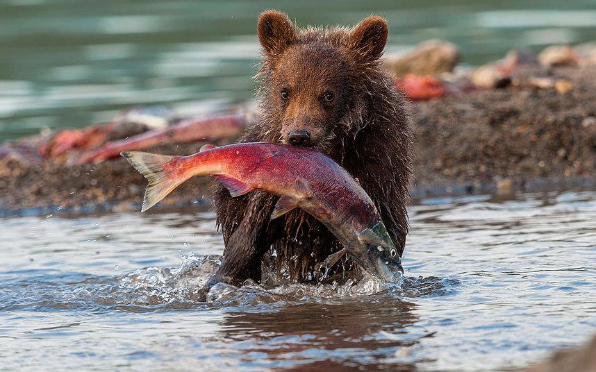 Медвежонок поймал лосося на Курильских озере