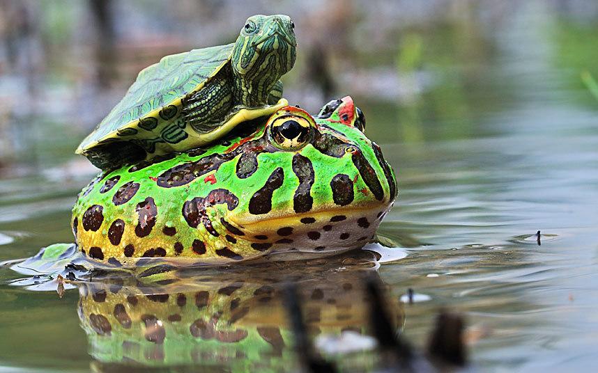 Черепаха уселась на лягушку в Индонезии