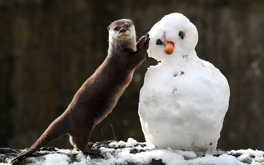 Выдра заинтересовалась снеговиком, Шотландия