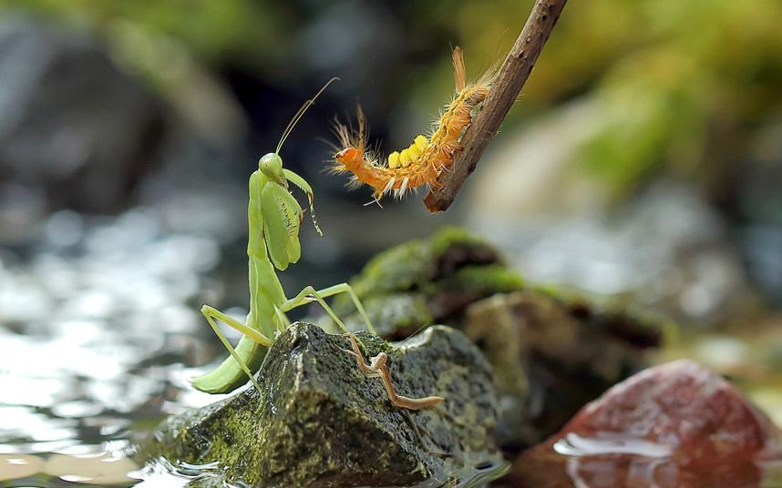 Богомол и гусеница готовятся к борьбе