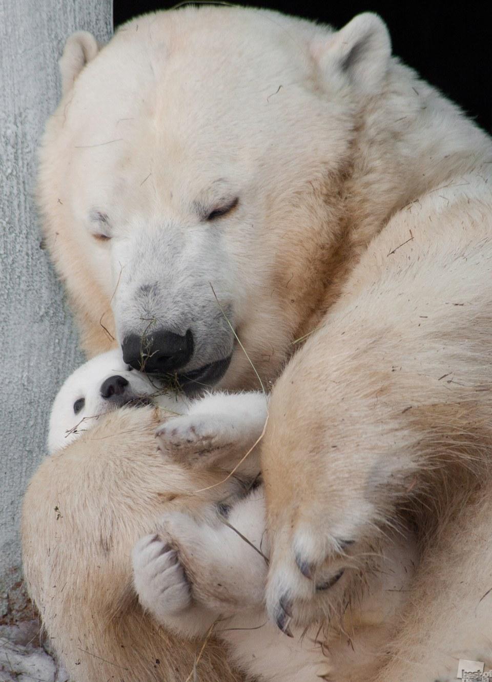 Белые медведи, Новосибирск