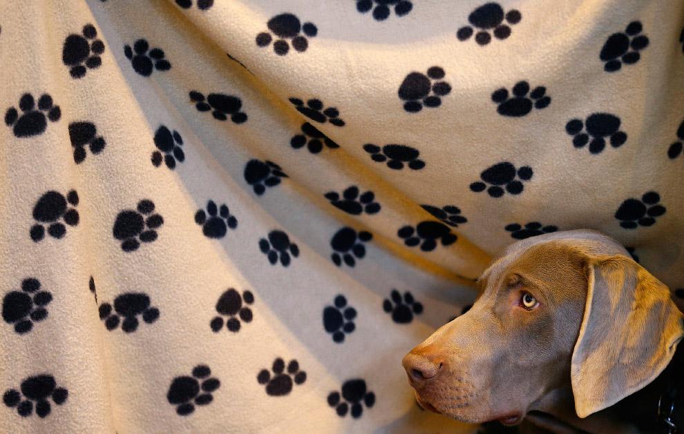 Веймаранер — охотничья подружейная собака