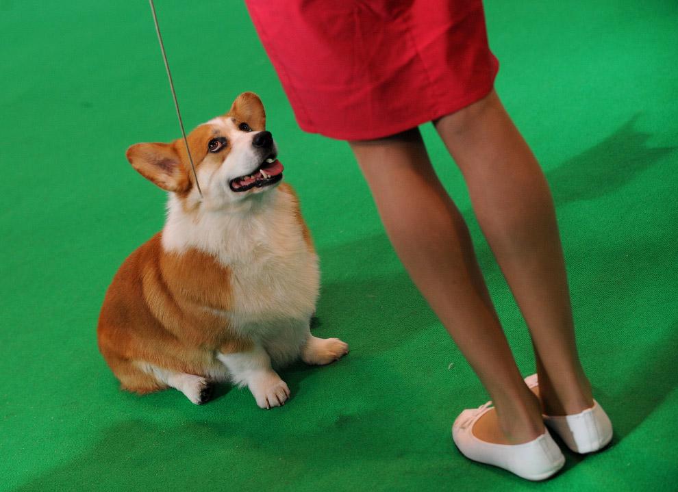 Вельш-корги — порода собак, выведенная в Уэльсе