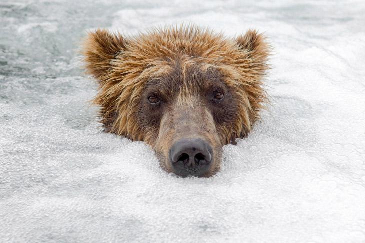 Медвежий фотограф