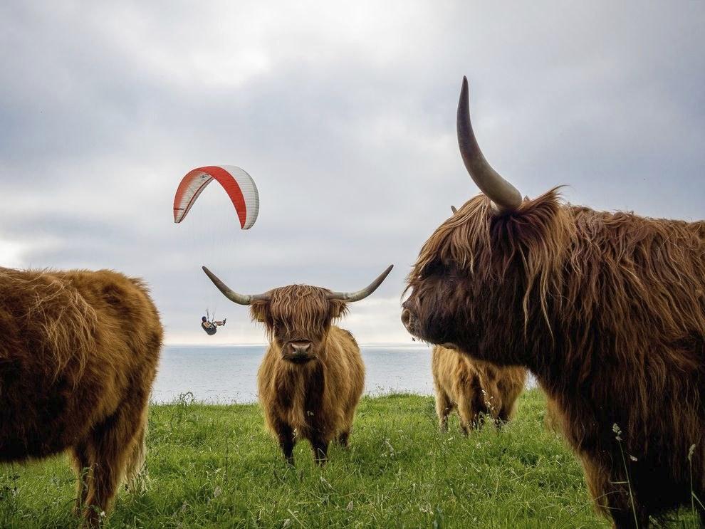 Высокогорные коровы в Дании