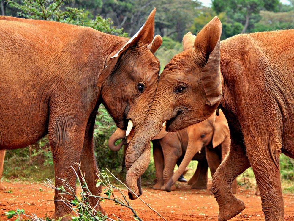 Слоны в Национальном парке Найроби, Кения