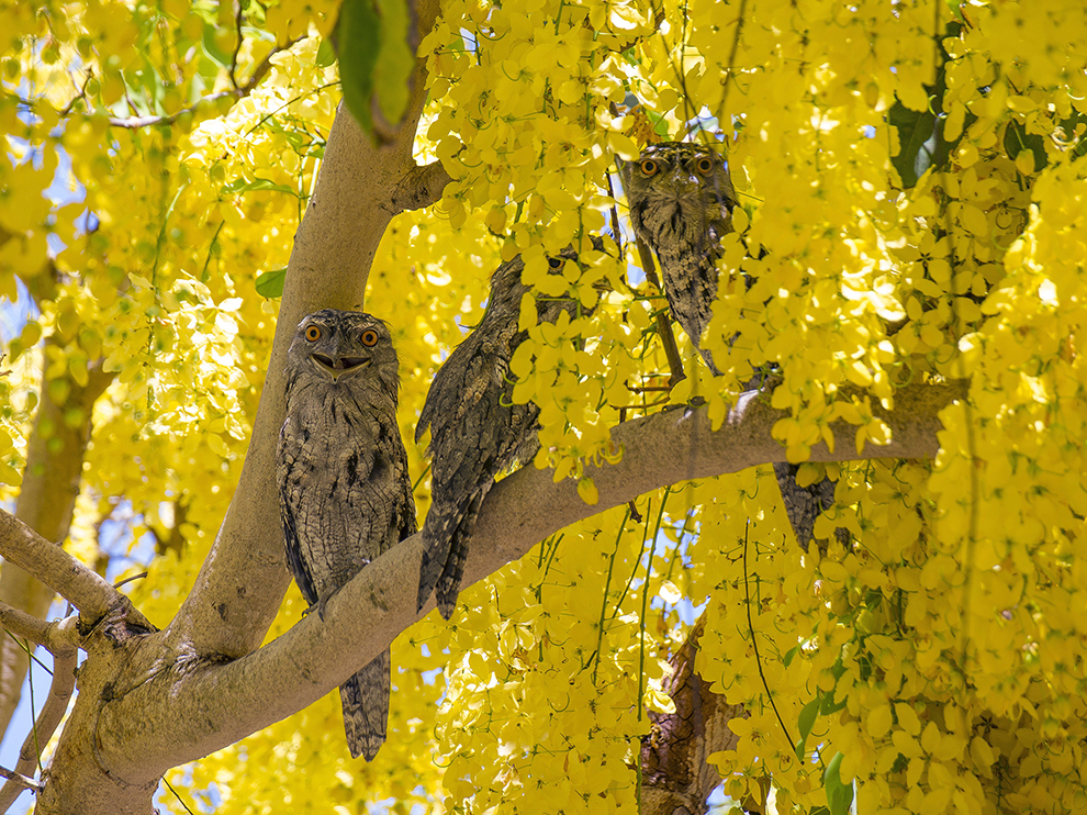 Tawny frogmouths taking refuge from the heat in a REALLY yellow flowered tree (not sure what it is). Don't know if they were happy or just fancied my eyeballs for breakfast.........