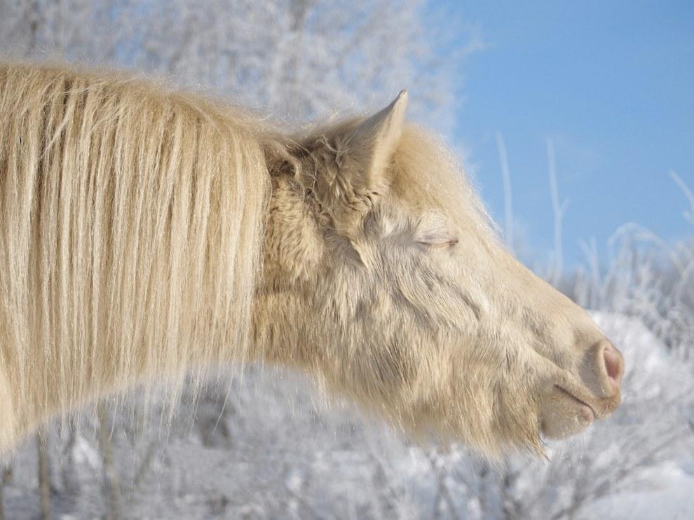 Пони, Эстония