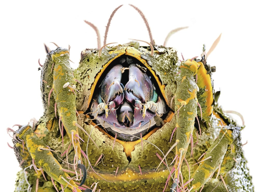Клещ из рода Hermanniella