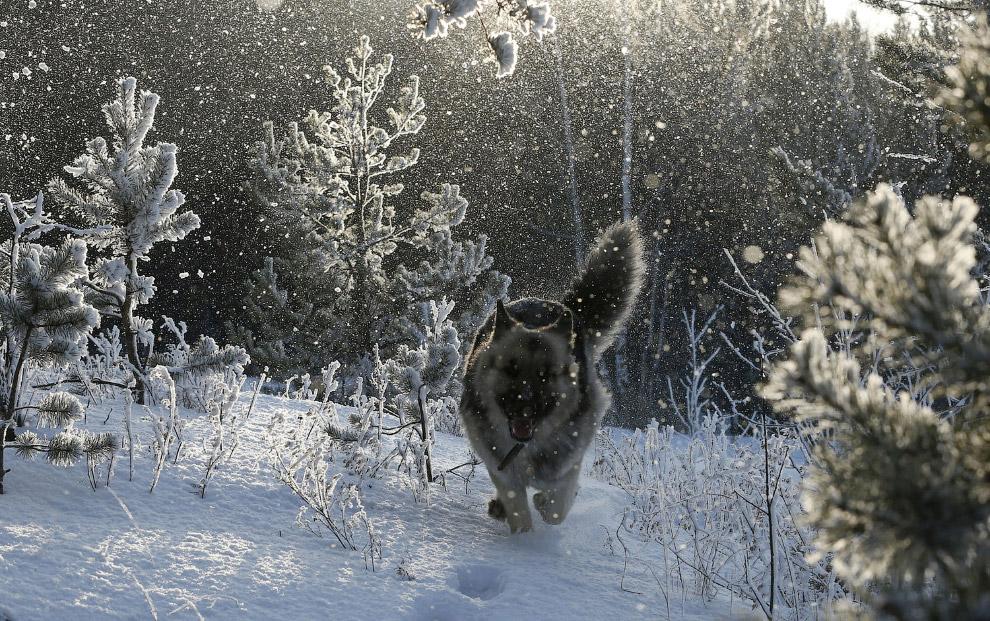 Собака в сибирском лесу