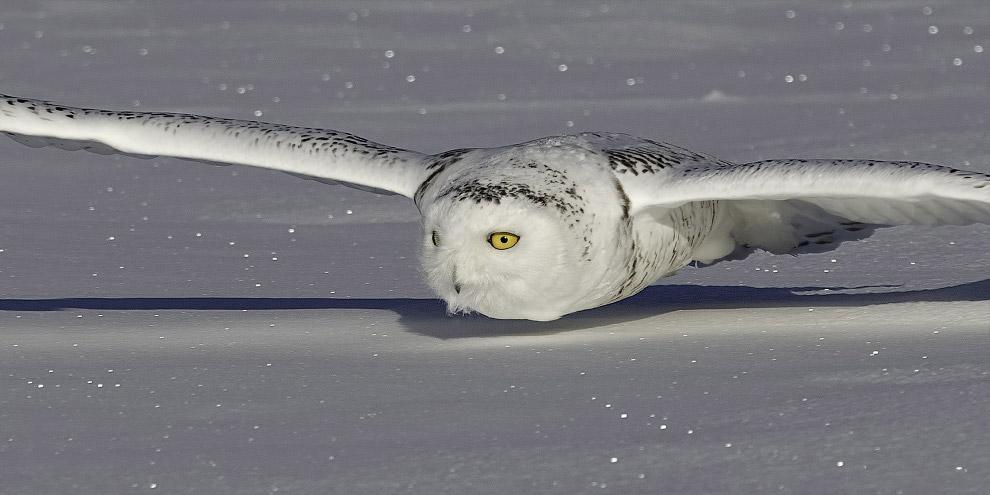 Охота полярной совы