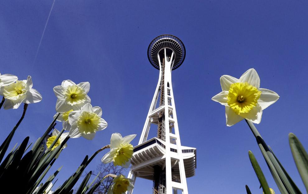 Нарциссы в Сиэтле, штат Вашингтон