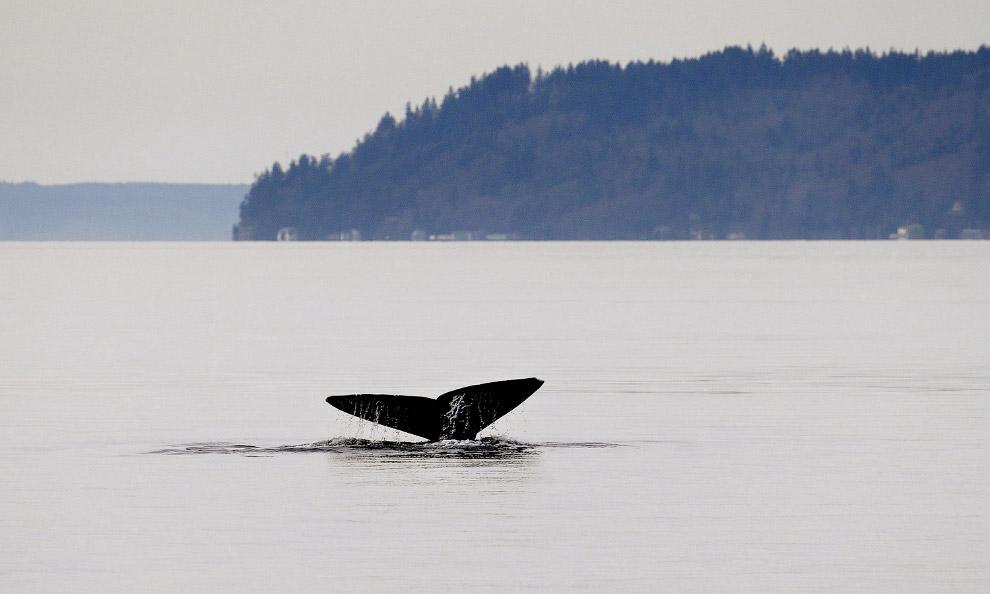 Весной серые киты идут с севера на юг