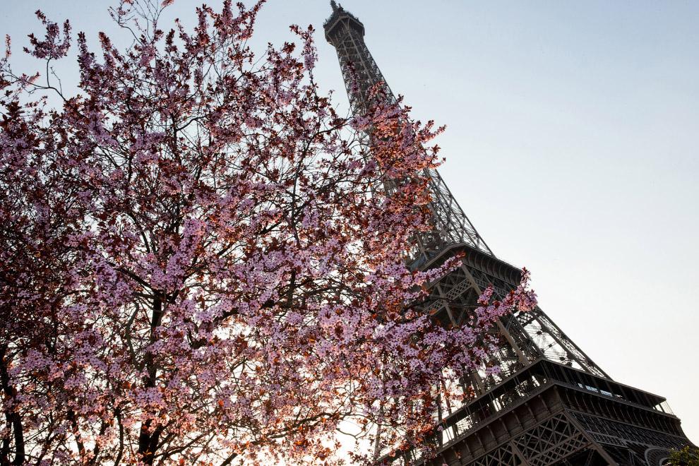 Цветущее дерево и Эйфелева башня