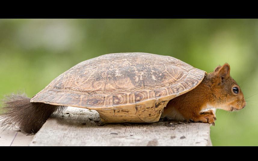 Любопытная белка влезла в старый панцирь черепахи в сад в Швеции