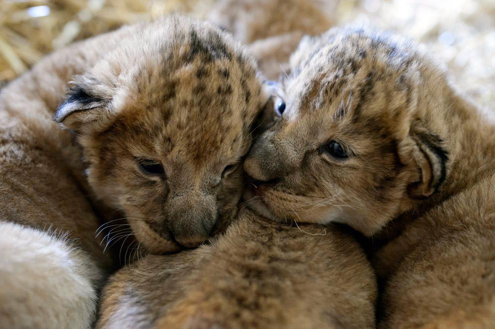 Львята в зоопарке в Венгрии
