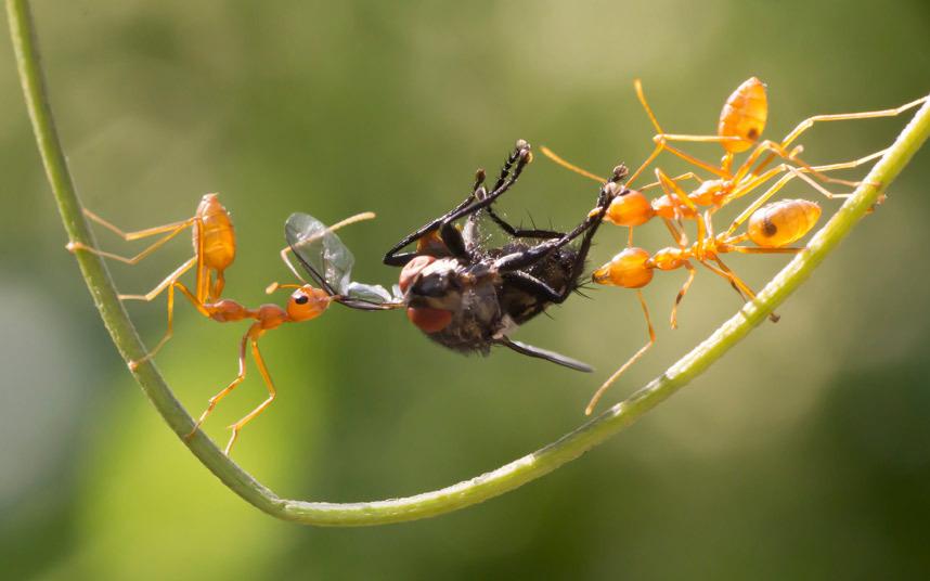 Борьба муравьев на ужин в Керала, Индия