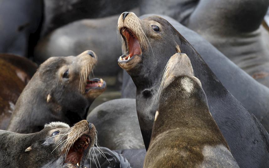Морские львы недалеко от города Асторя, штат Орегон