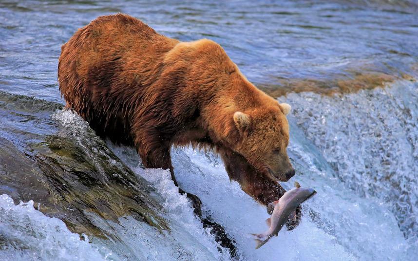 Медведь ловит лосося в реке Брукс в Национальном парке Катмай, Аляска