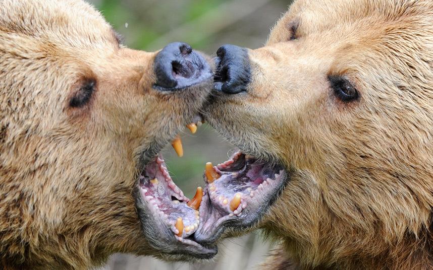 Медведи в Уипснейдском зоопарке Зоологического общества Лондона