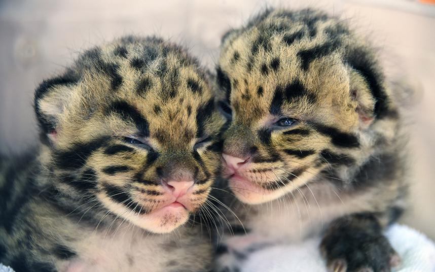 Котята дымчатого леопарда в зоопарке Майами