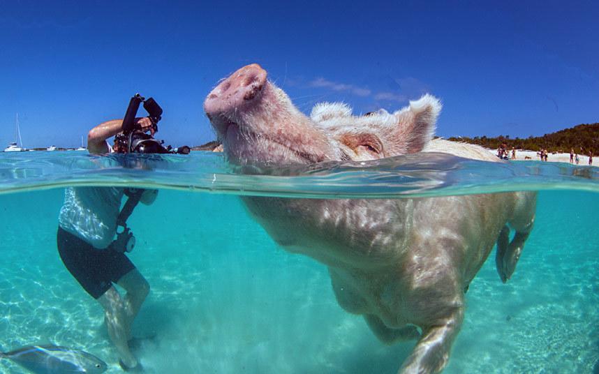Домашние свиньи, живущие на необитаемом острове Биг Мэйджор Кэй, Багамы
