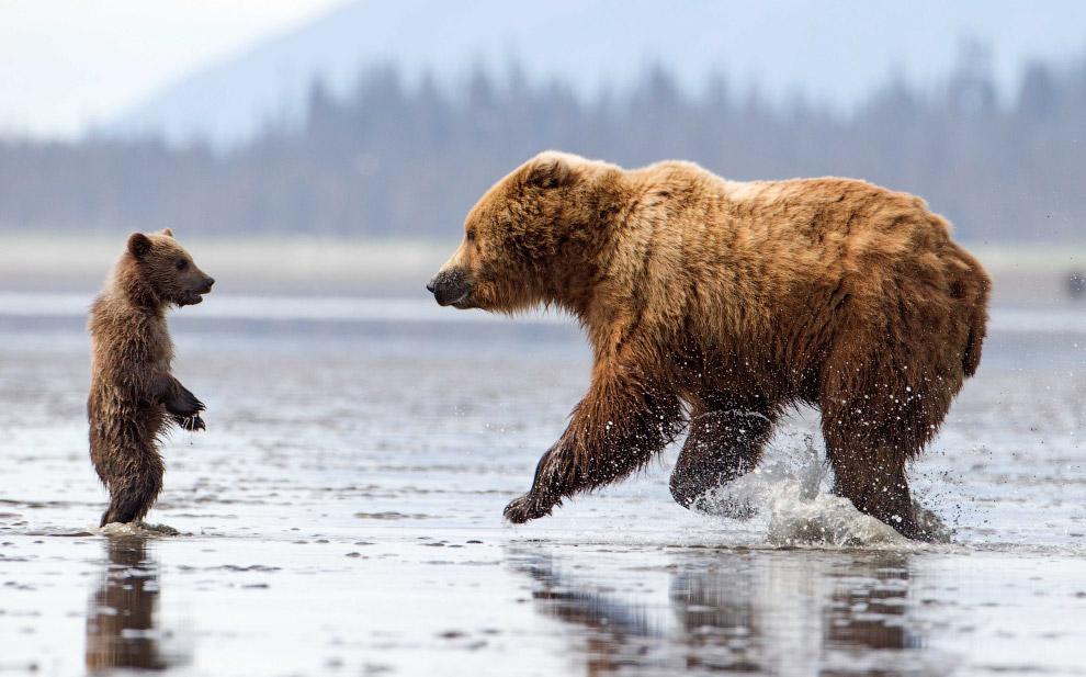 Семья медведей в национальном парке Озеро Кларк, Аляска