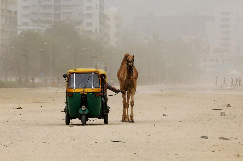 Выгул верблюда